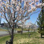 桜がきれいに咲きました!
